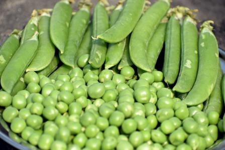 Fresh Green Peas (unpeeled)